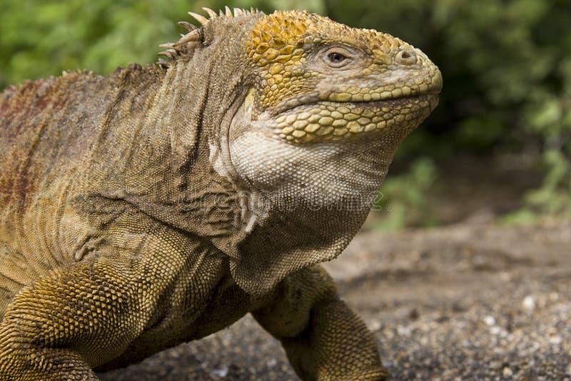 Iguane de cordon de Galapagos image libre de droits