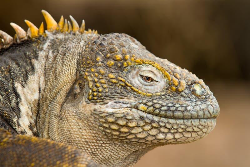 Iguane de cordon de Galapagos image stock