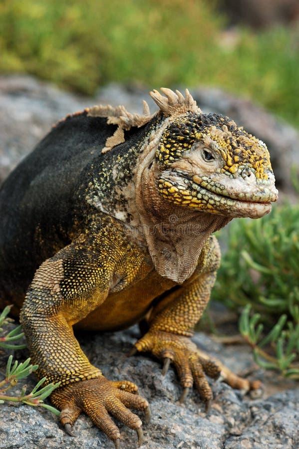 Iguane de cordon de Galapagos photo libre de droits