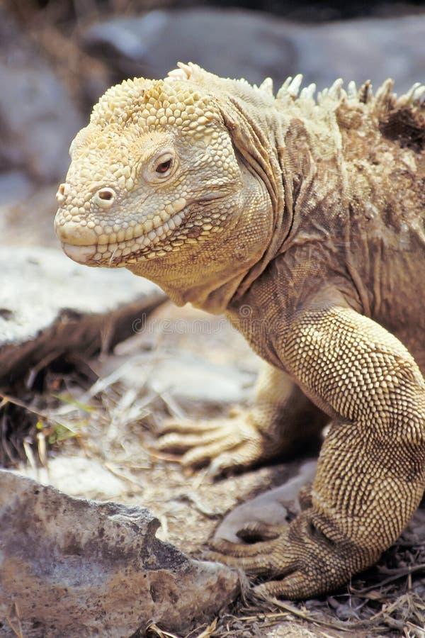 Iguane de cordon de Santa Fe, îles de Galapagos, Equateur photos stock