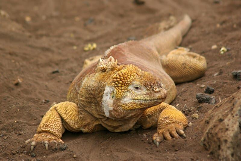 Iguane de cordon, Galapagos photos stock