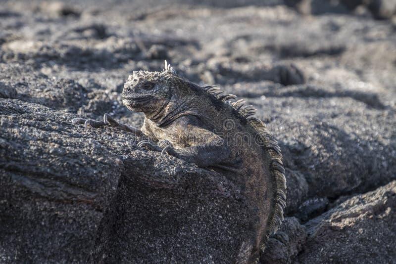 Iguane de Galapagos été perché sur les roches grises de lave photographie stock