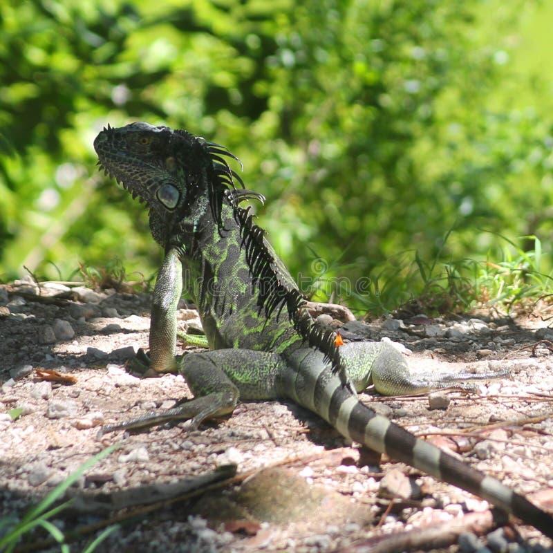 Iguane de Key West images libres de droits