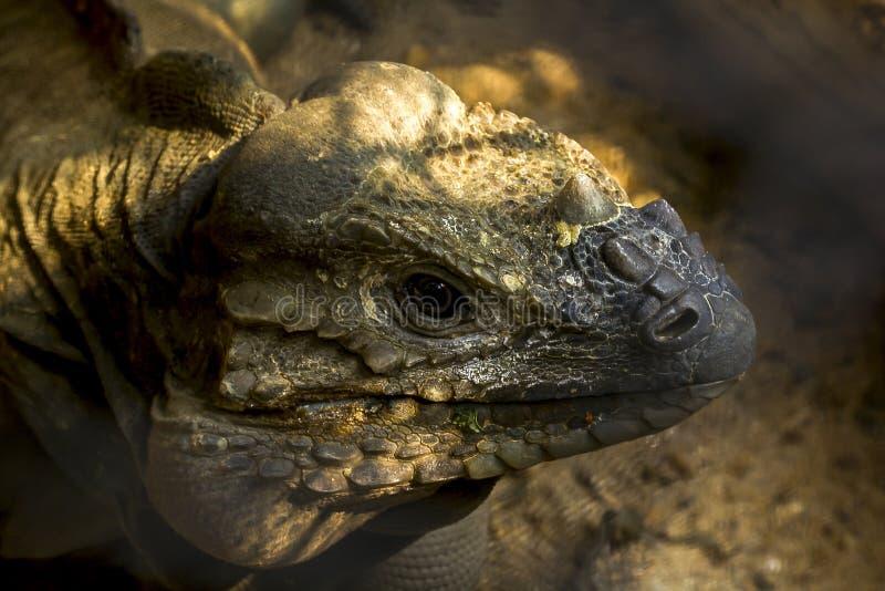 Iguane de rhinocéros, espèces rares d'une faune indigènes aux Caraïbe images libres de droits