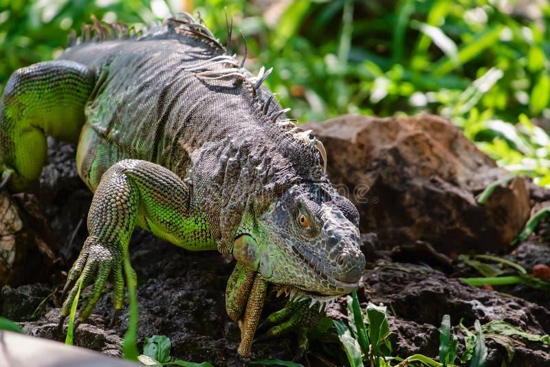 Iguane de rhinoc?ros et x28 ; Cornuta& x29 de Cyclura ; dans la nature photos stock