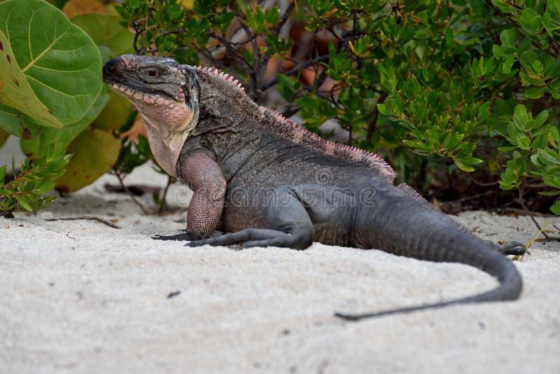 Iguane de roche images libres de droits