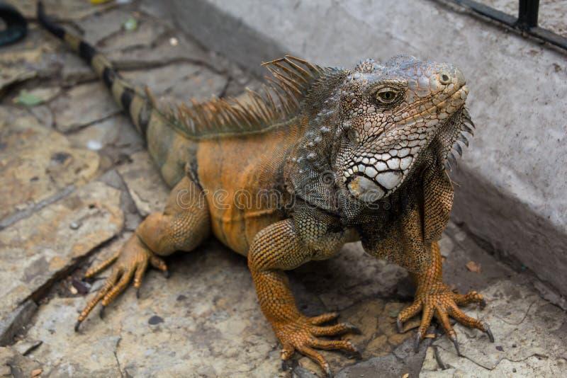 Iguane de terre image libre de droits