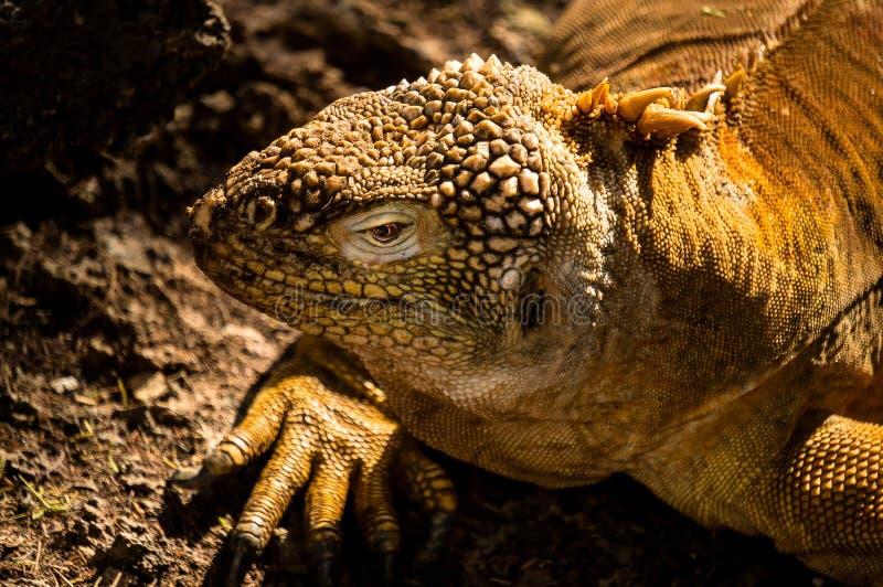 Iguane de terre de Galapagos photos stock
