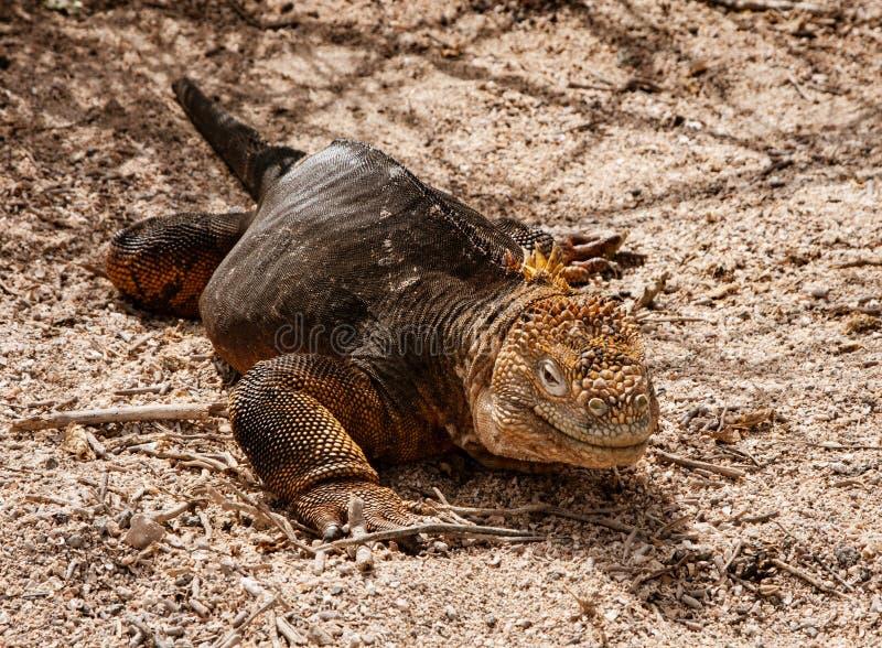 Iguane de terre de Galapagos image stock