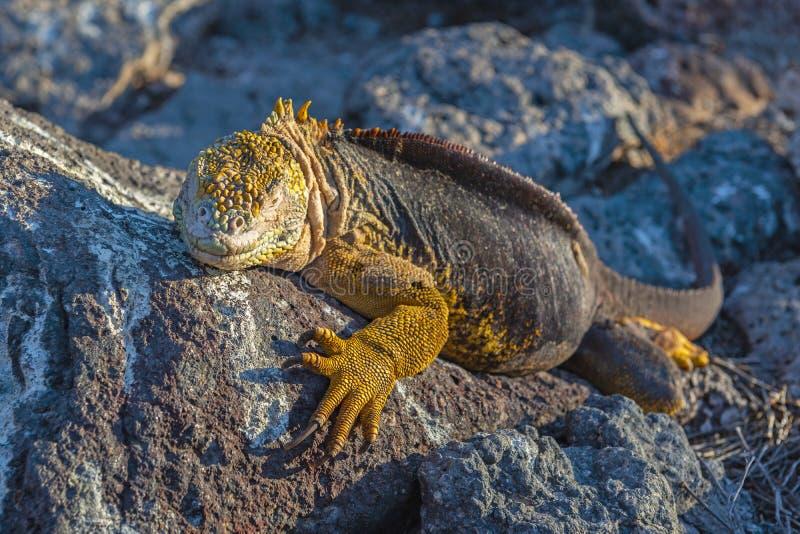 Iguane de terre de Galapagos au coucher du soleil, Equateur photo libre de droits