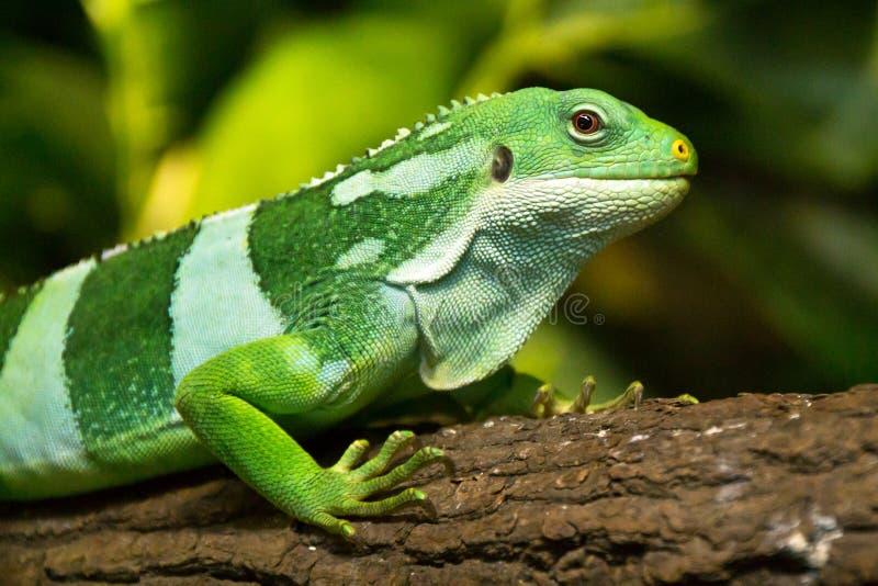 Iguane del Fijian fotografie stock libere da diritti