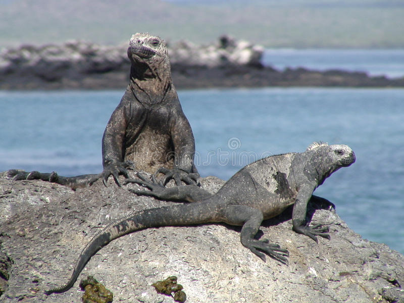Iguane del Galapagos che prendono il sole fotografia stock libera da diritti