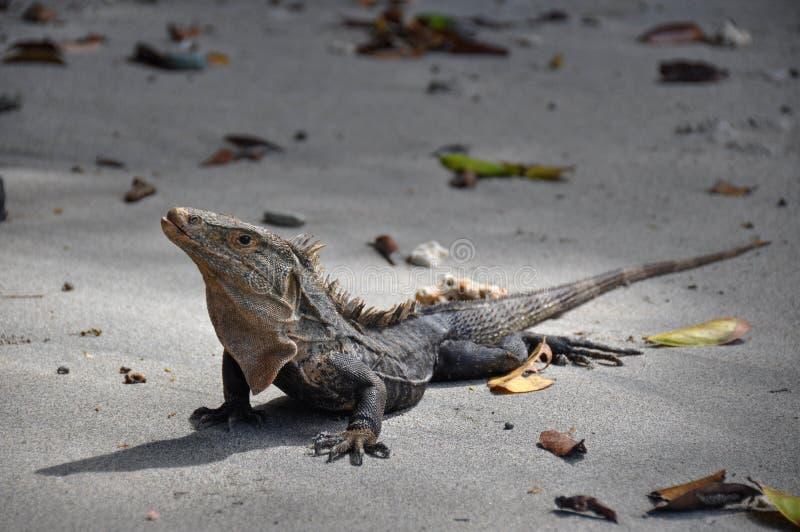 Iguane en Manuel Antonio National Park, Costa Rica images libres de droits