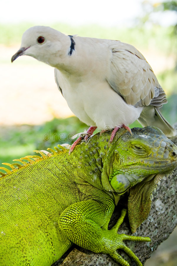 Iguane et pigeon photo libre de droits