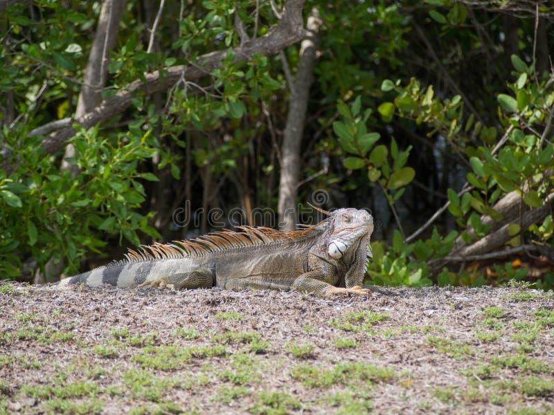Iguane exposant au soleil près de la plage dans St Croix images libres de droits