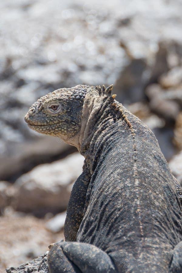 Iguane Galapagos de terre se reposant sur une roche images stock