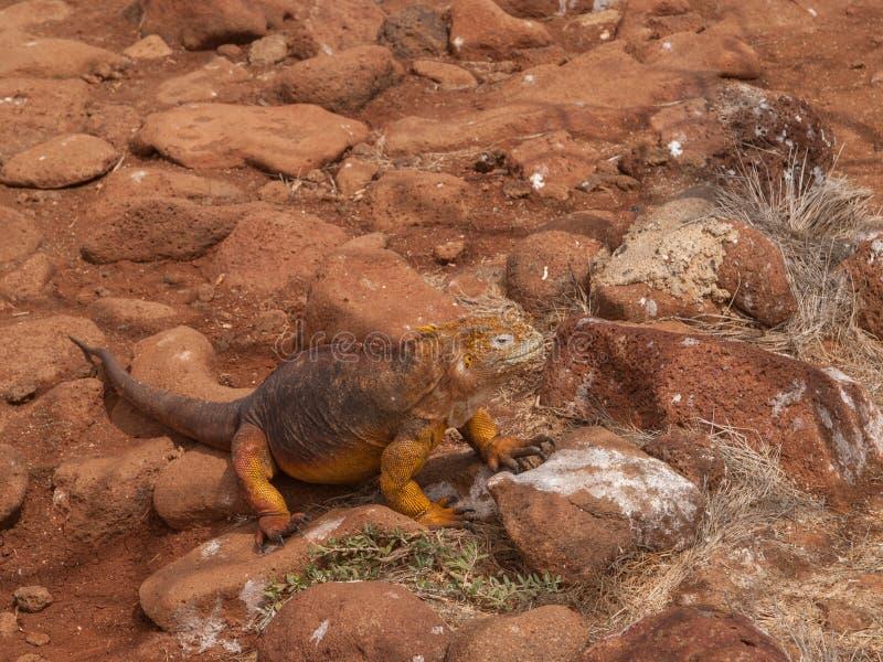Iguane jaune photo stock