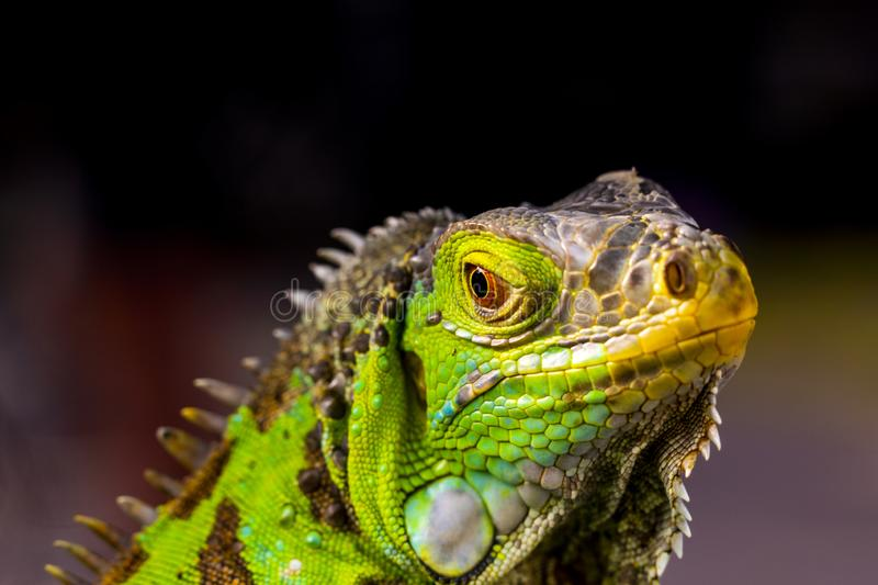 Iguane les grands lézards image stock