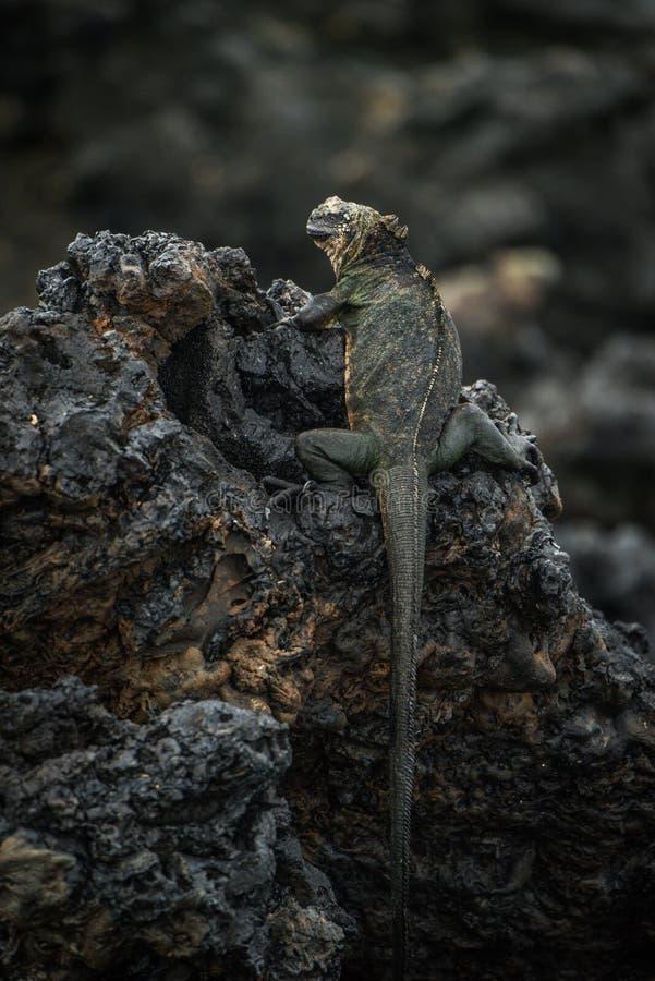 Iguane marin été perché sur les roches volcaniques noires image libre de droits