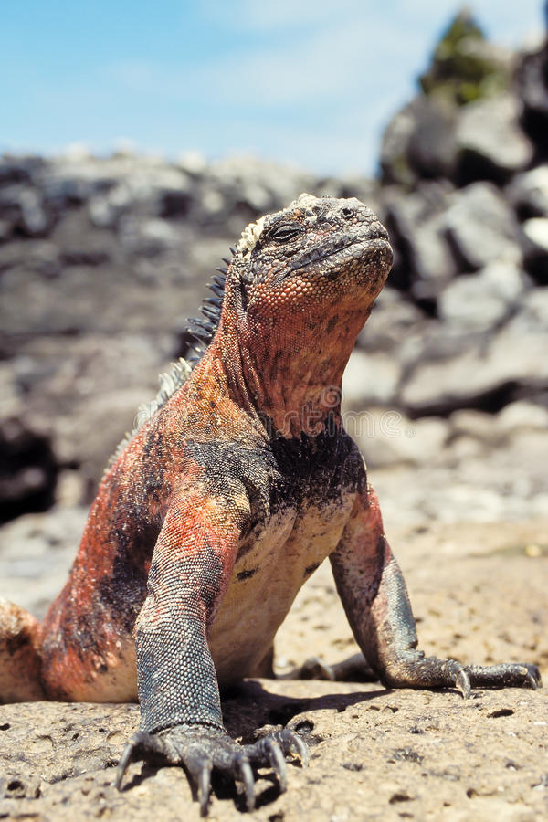 Iguane marin, îles de Galapagos, Equateur image stock