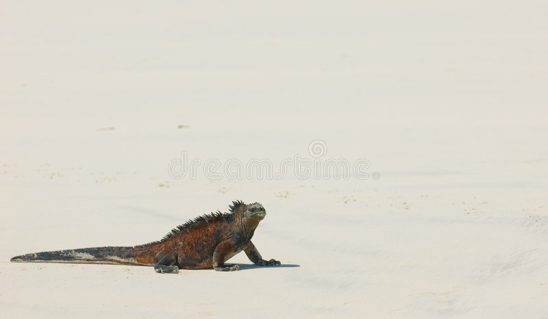 Iguane marin dans la plage photos stock