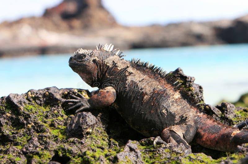 Iguane marin de Galapagos photo libre de droits