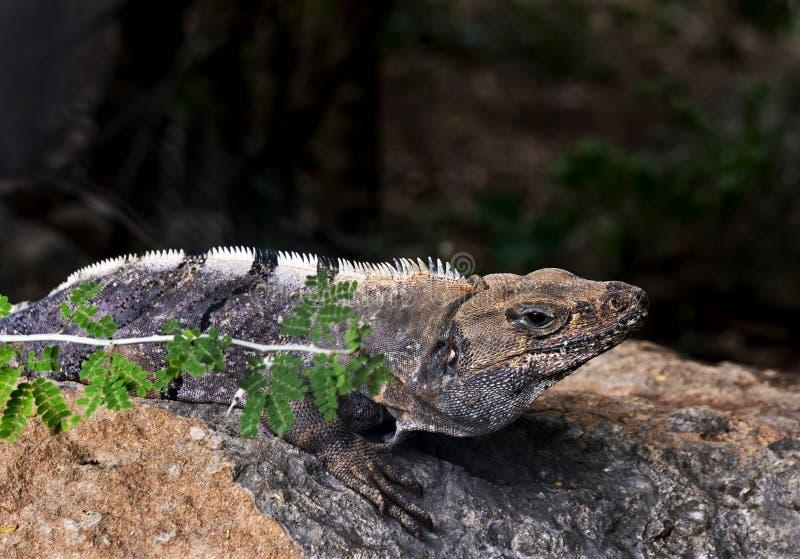 Iguane noir de Spinytail (similis de Ctenosaura) images libres de droits