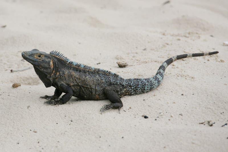 Iguane noir, similis de Ctenosaura photographie stock
