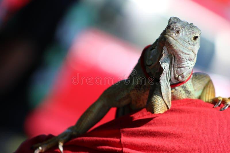 Iguane posant sur une épaule photo libre de droits