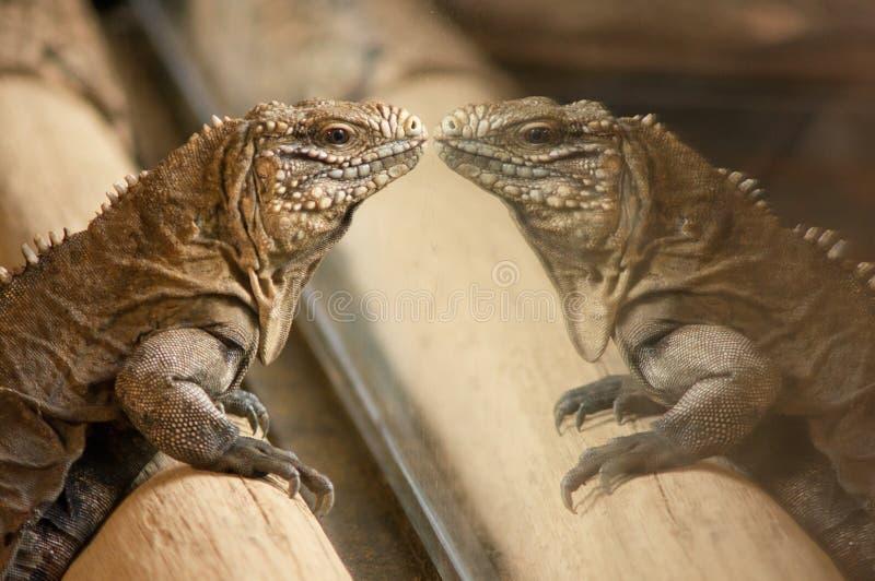 Iguane : regard dans propres yeux photographie stock libre de droits