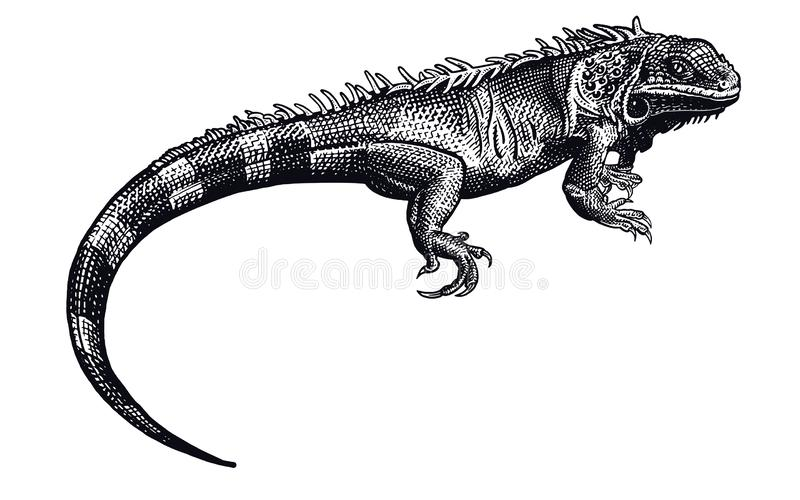 D Iguane Noir Stock Illustrations, Vecteurs, & Clipart - (1,357 Stock Illustrations)