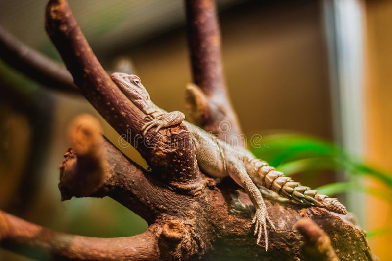 Iguane rond rampant sur l'arbre, image brightful photographie stock