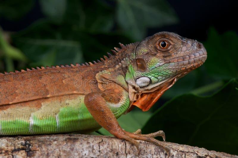 Iguane rouge image libre de droits
