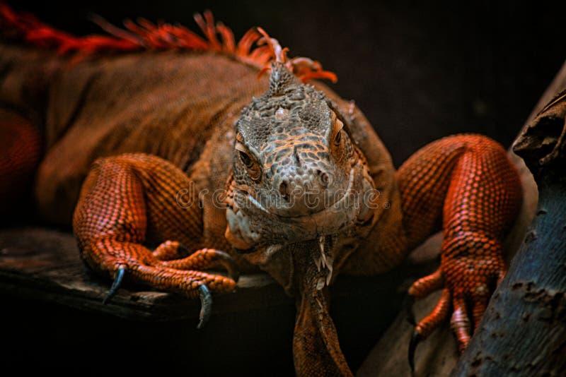 Iguane rouge images libres de droits