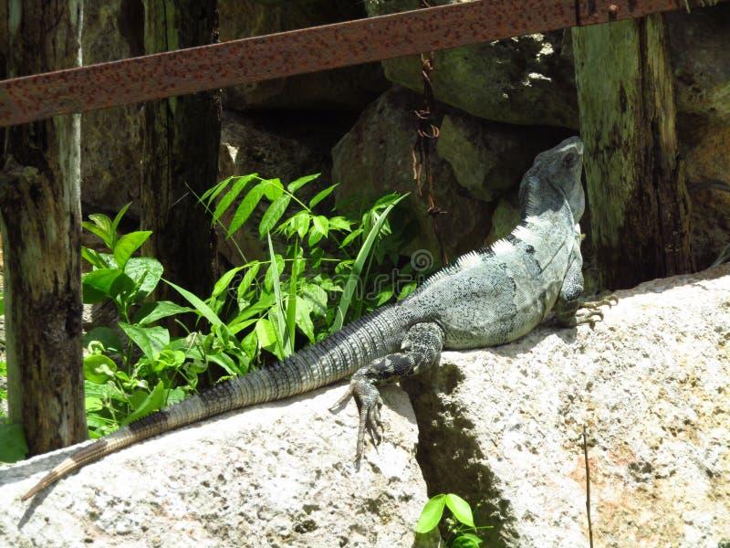 Iguane sauvage photo stock