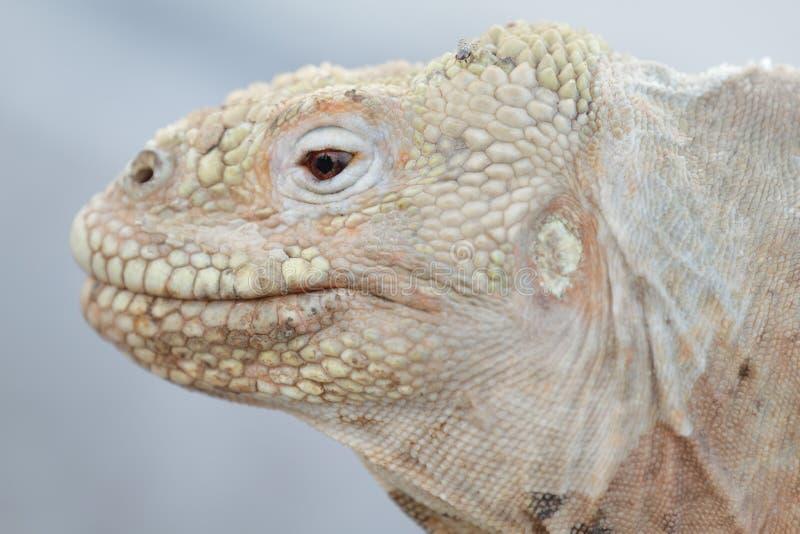 Iguane sauvage de terre sur l'île de Santa Fe photographie stock libre de droits