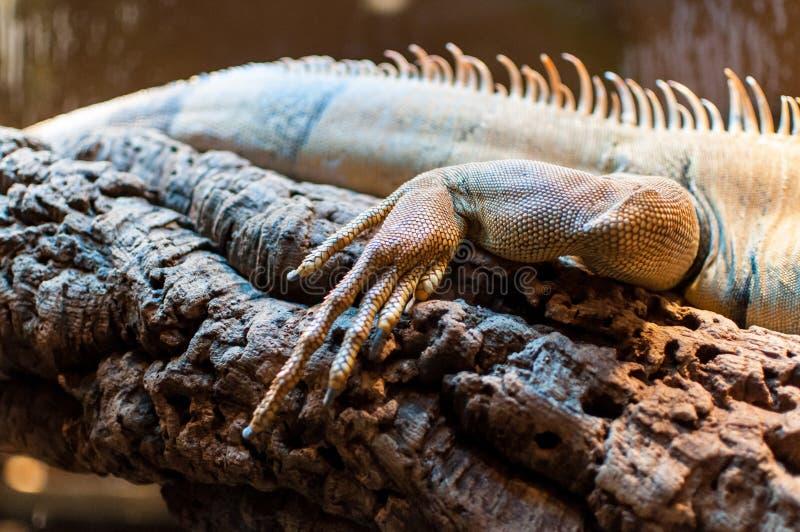 Iguane se reposant sur une branche dans la mini-serre image libre de droits