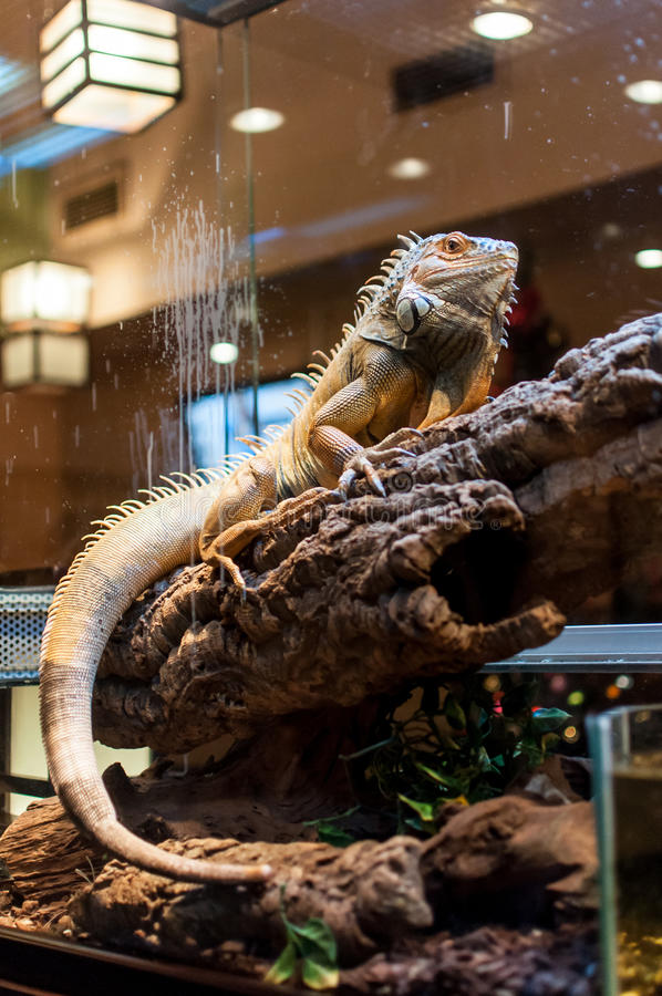 Iguane se reposant sur une branche dans la mini-serre photos libres de droits