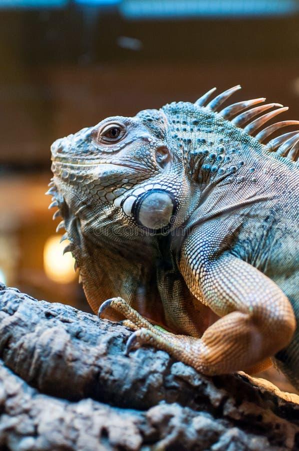Iguane se reposant sur une branche dans la mini-serre images stock