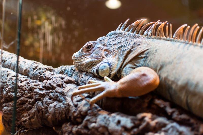 Iguane se reposant sur une branche dans la mini-serre image stock