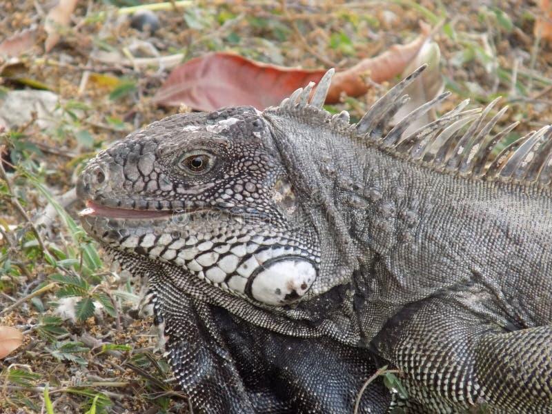 Iguane Sonriente L'iguane de sourire image stock