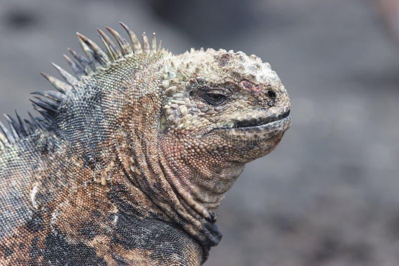 Iguane sur l'île de Floriana photo libre de droits