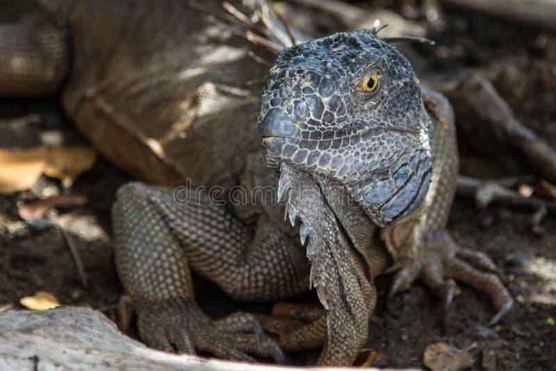 Iguane sur l'île de St Maarten images libres de droits