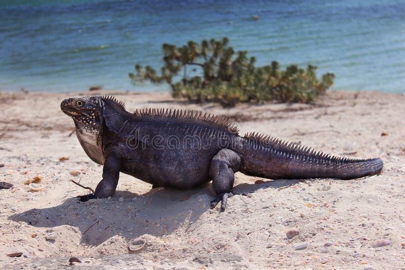 Iguane sur la plage photographie stock