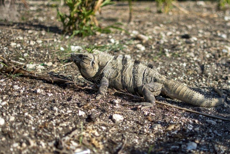 Iguane sur un chemin au Mexique photographie stock libre de droits