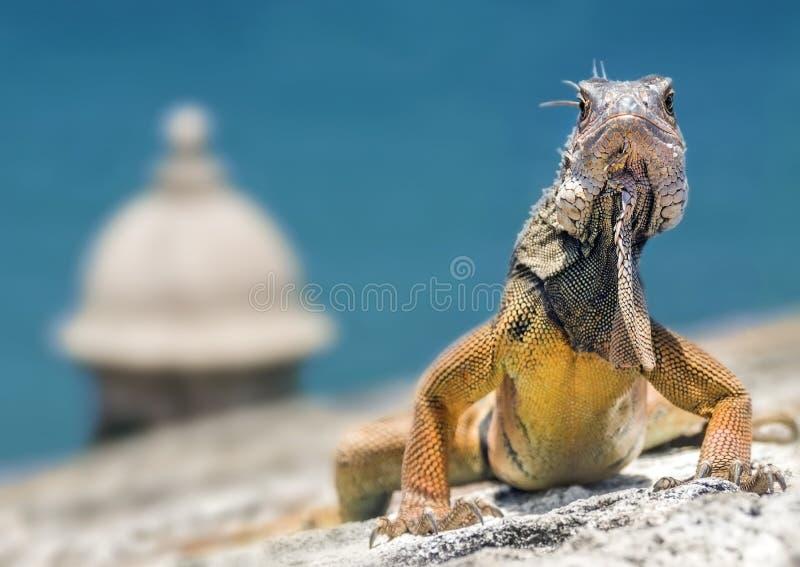 Iguane sur une forteresse images libres de droits
