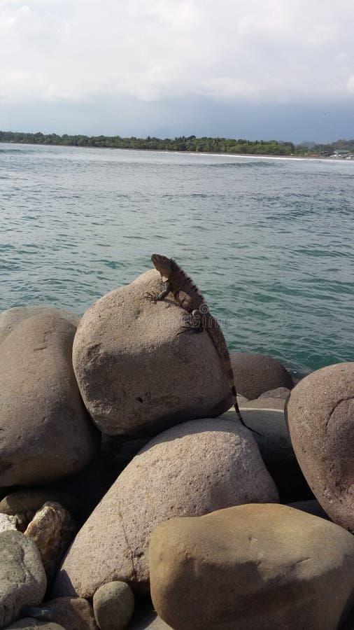 Iguane sur une plage rocheuse photographie stock libre de droits