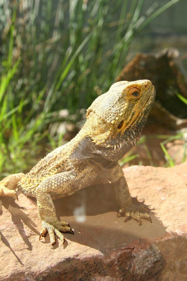 Iguane sur une roche photographie stock