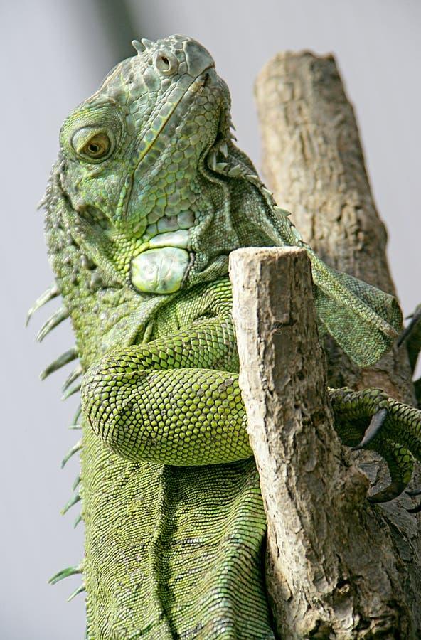 Iguane vert 4 photos libres de droits