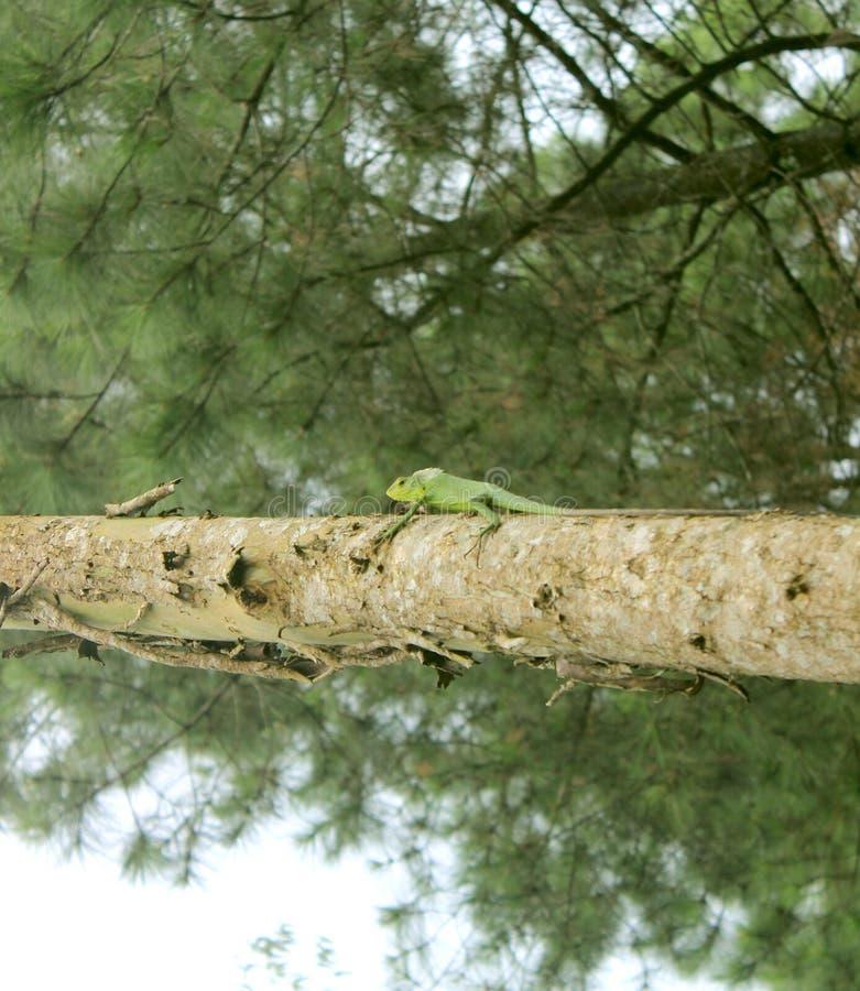 Iguane vert photo stock